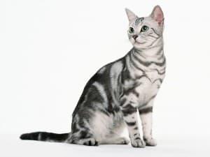 история американской короткошерстной кошки
