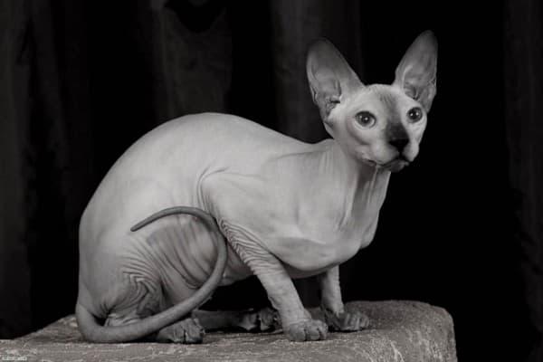 черно-белое фото сфинкса