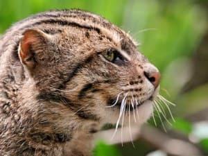 дикий виверровый кот