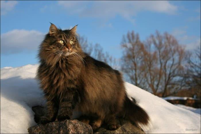 Внешний вид норвежской лесной кошки