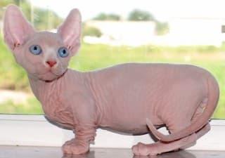 Бамбино: фото кошки, цена, характер породы, описание, видео