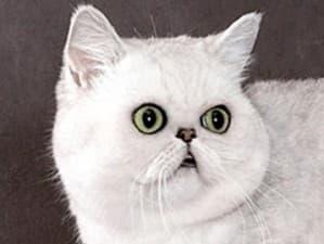 здоровье гималайских кошек