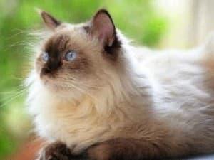 Поведение гималайской кошки