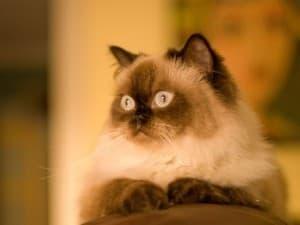 история гималайской кошки