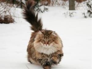 история невской маскарадной кошки