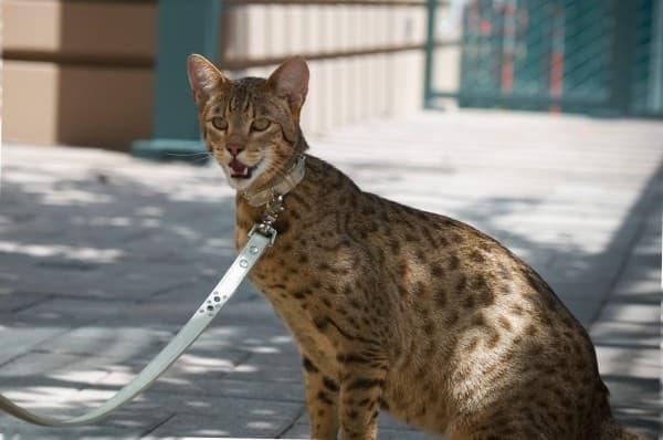 Саванна: фото кошки, цена, характер породы, описание, видео