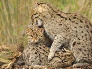 откуда родом виверровый кот