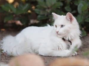 проблемы со слухом у ангорских кошек