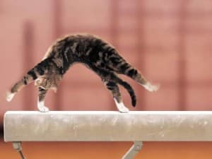 телосложение у кошки