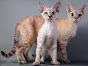 Длина шерсти у кошек