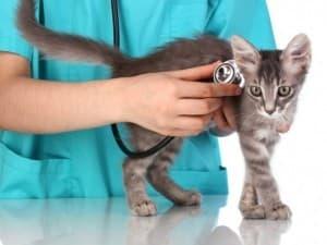 Лечение гемобартонеллеза у кошек