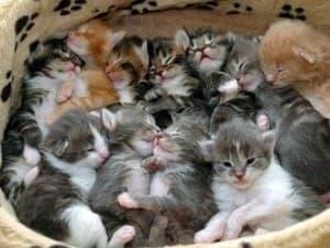 Беременность у кошки по неделям