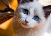 Грыжа у кошек