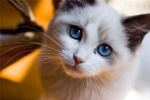 Грыжа у кошек: пупочная, паховая, промежностная