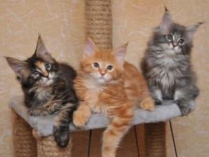 Кот или кошка мейн кун