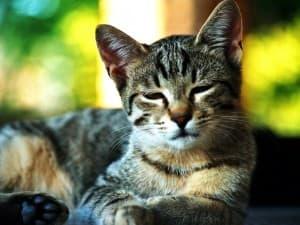 Сонливая кошка