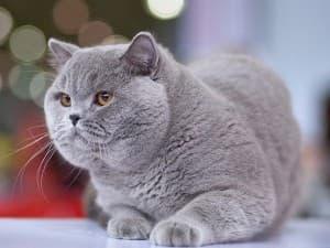 Британские кошки характер