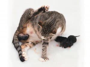 Как рожают кошки в первый раз