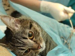 Стоимость стерилизации кошки и кастрации кота