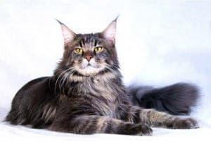Сколько стоит котенок Мейн Кун