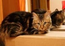 Свищ у кошки