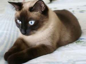 Интересный характер сиамских кошек