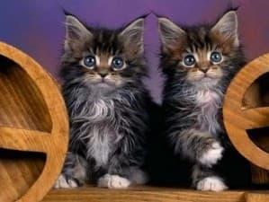 От чего зависит цена котенка мейн-кун