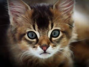 Зачем берут кровь у кошки
