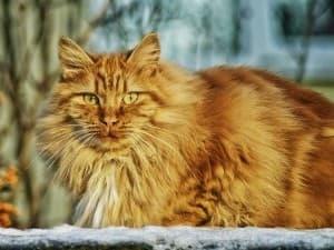 Кошка ожирела