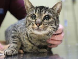 Симптомы стафилококка у кошек
