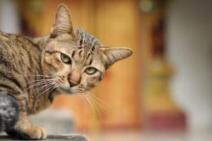 Стафилококк у кошек