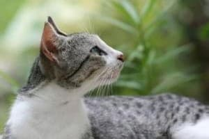 Грибок у кошек: симптомы, лечение