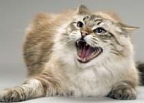 Агрессия у кошек