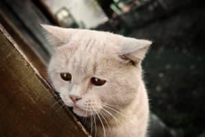 Мастопатия у кошек: симптомы, лечение