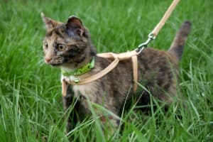 Можно ли выгуливать кошек