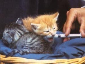 котенка кормят искусственным молоком
