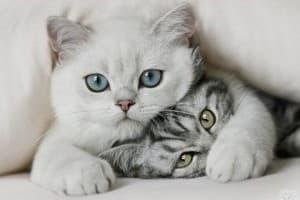 Две кошки в доме: как подружить