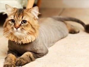 подстриженный котик лежит