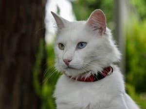 кривый кот с ошейником