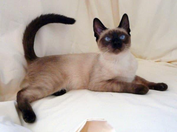 Тайская кошка