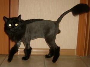 модная стрижка у кота