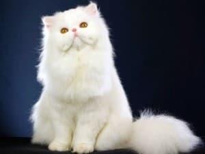 котик с белой шубкой