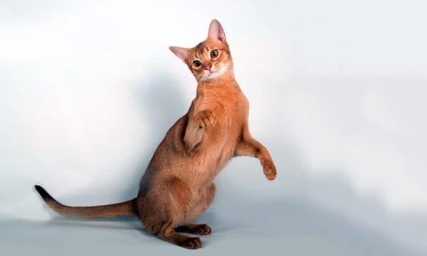 Абиссинская кошка красивое фото