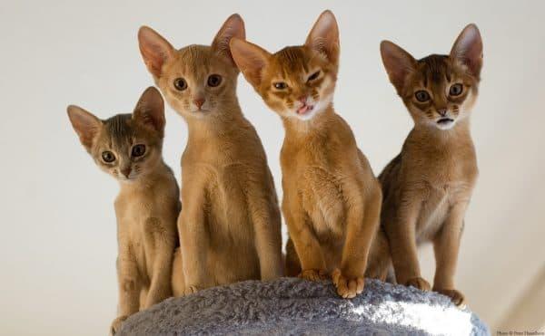 Абиссинская кошка. Описание породы, фото кошки, видео, характер и цены.