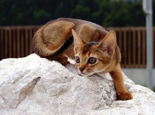 Абиссинские кошки фото