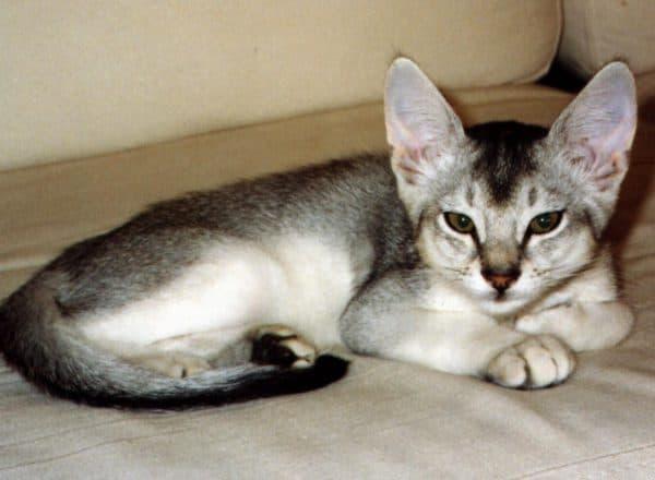 Абиссинские кошки окраса черного серебра