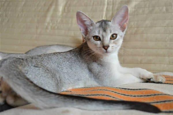 Абиссинские кошки окраса серебра