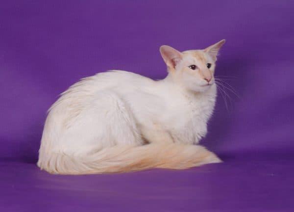 Балинезийская кошка ред