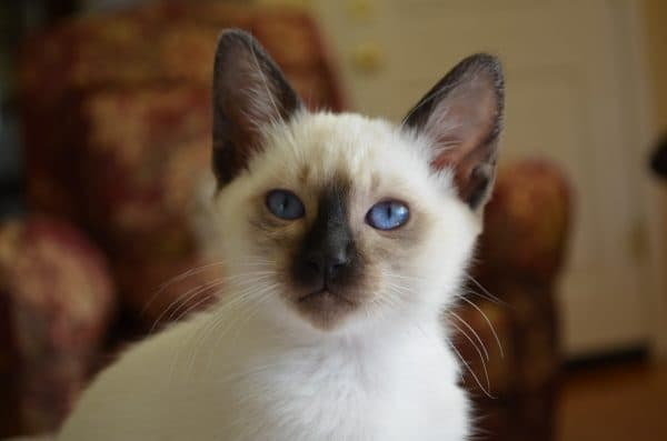 Балинезийская кошка шоколад-поинт
