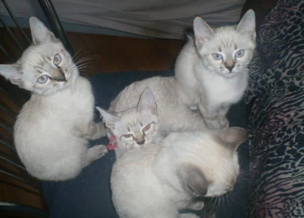 Балинезийская кошка тэбби